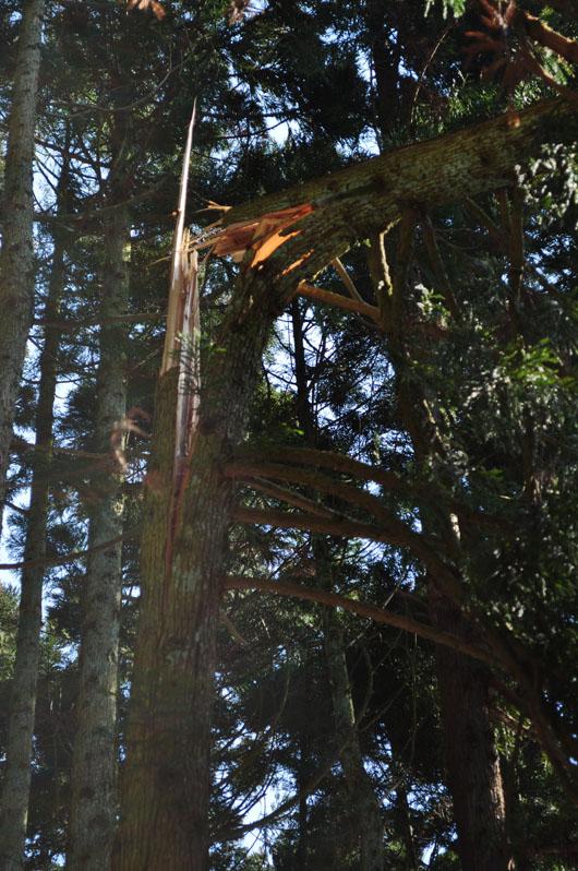 折れた杉の木